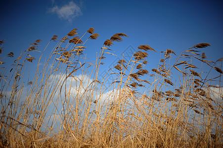 风中的芦苇图片