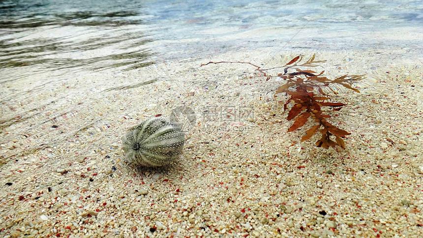 巴巴多斯海胆贝壳和海草漂浮图片