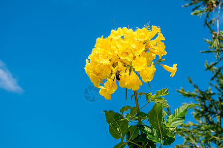 越南芽庄秋天热带植物黄钟花图片