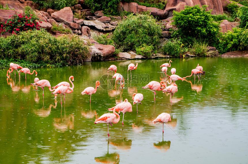 越南芽庄珍珠岛的火烈鸟图片