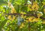 阳光下的桂花图片