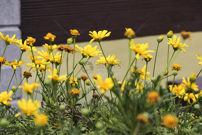 秋日物语之野菊丛生图片