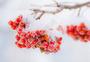 早晨冬季樱桃霜雪樱桃冬季红果霜雪红果图片