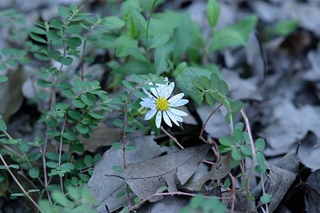 枯叶里绽放的花图片