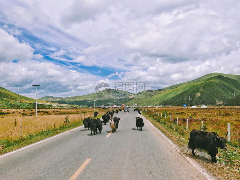 川西色达县成群的牦牛图片