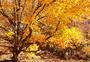 秋天的枫树图片