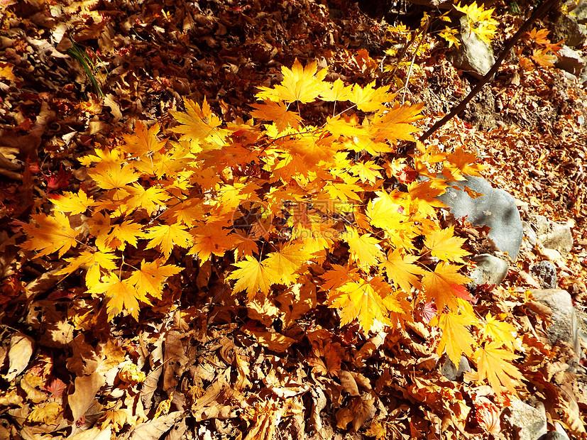 秋天的树叶图片