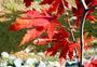 红色秋叶图片