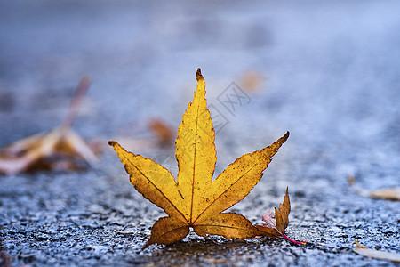 秋天的落枫图片