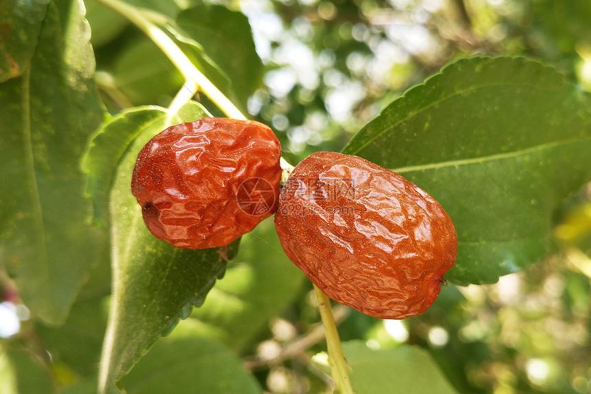 秋天丰收的果园果实枣子树图片