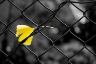 孤独银杏叶图片