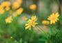 黄金菊与蜜蜂图片