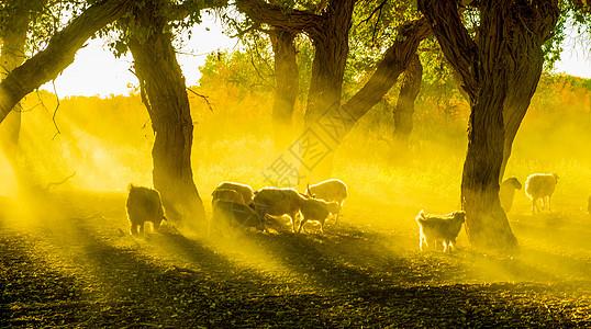 夕阳下的胡杨林里的羊群图片