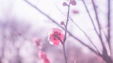 紫蓬山冬日盛开的梅花图片