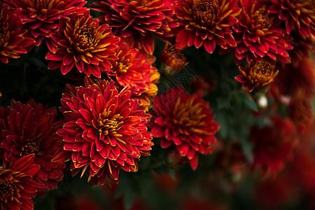花丛中的菊花群图片