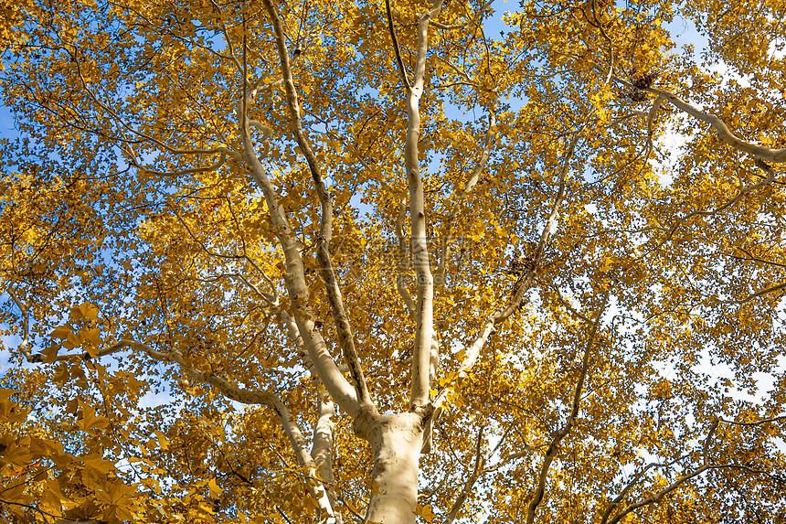 秋天梧桐树图片