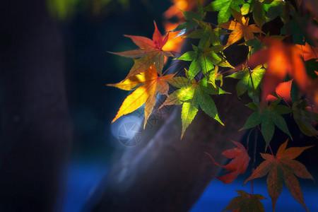 色彩斑斓的枫叶图片