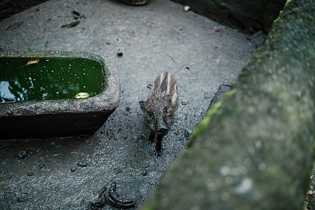 小野猪图片