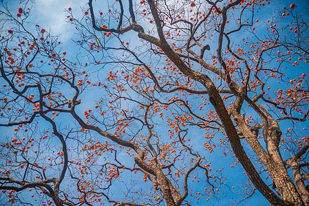 果实累累的柿子树图片