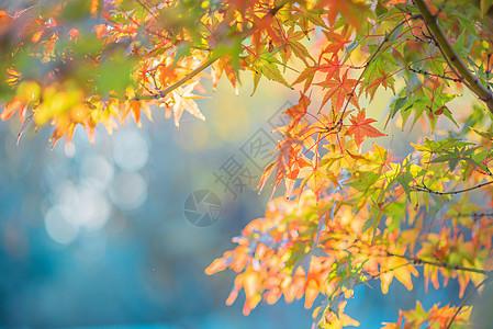 秋浓枫叶美图片