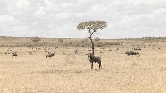 非洲肯尼亚马赛马拉上的角马图片