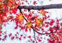 南京栖霞山的枫叶图片