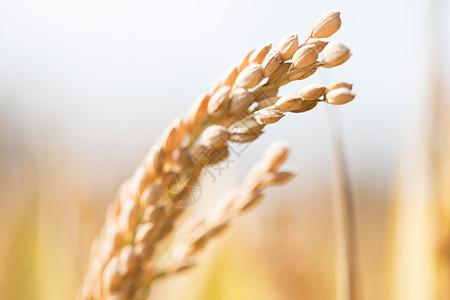 秋天里田间的水稻图片