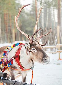 北欧芬兰洛瓦涅米圣诞老头人村驯鹿拉雪橇图片