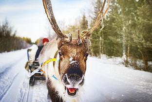 北欧芬兰洛瓦涅米圣诞老人村驯鹿拉雪橇图片