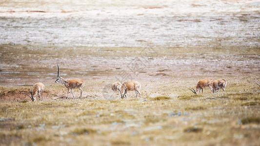可可西里无人区藏羚羊图片