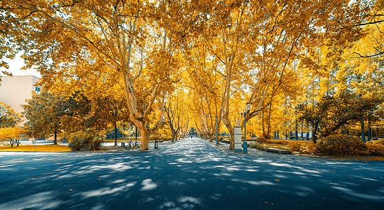 上海同济大学秋季校园林荫大道图片