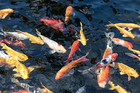 水池里的金鱼锦鲤图片