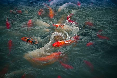 水池里的金鱼图片
