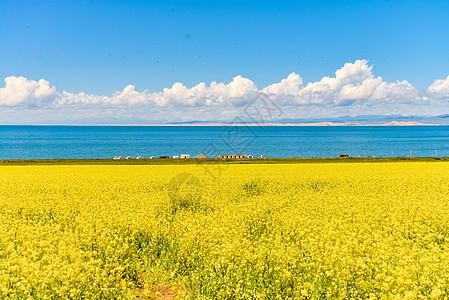 盛开的青海湖油菜花图片
