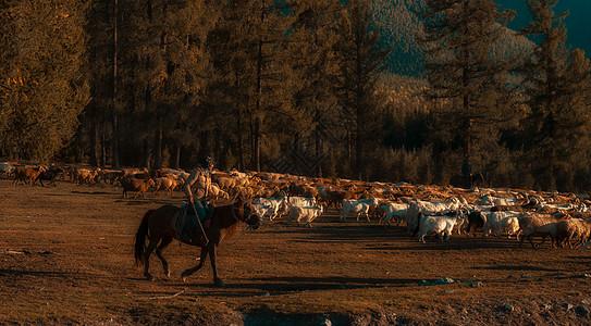 新疆牧羊人图片
