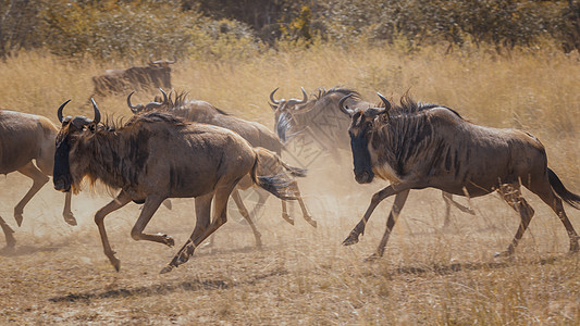 非洲大草原的动牛图片