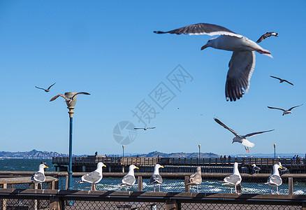 美国旧金山渔人码头海鸥图片