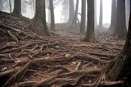 台湾嘉义阿里山森林神木图片