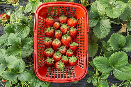 草莓园图片