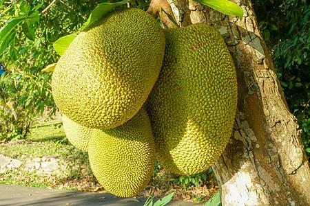云南西双版纳菠萝蜜图片
