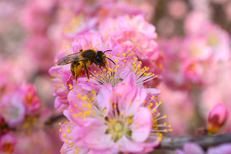 蜜蜂在樱花上采蜜图片
