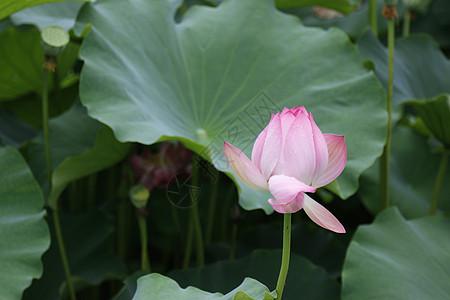夏日池塘里的荷花图片