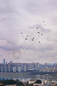 重庆鸽子图片
