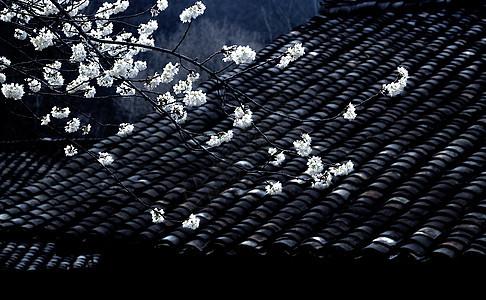 一枝樱花春带雨图片