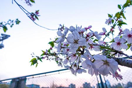 春季开放的樱花图片