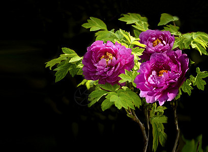 一束盛开的牡丹花图片