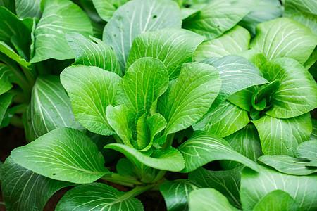 正在生长的蔬菜上海青图片