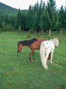 新疆喀纳斯草原马图片
