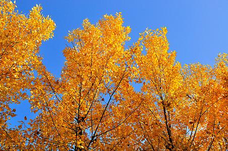 金色的树叶图片