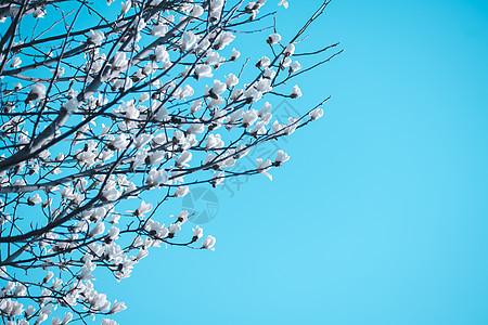 白玉兰花开图片